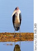 Marabu Stork, Nakuru Lake,Marabu Stork, Nakuru Lake. Стоковое фото, фотограф Ivan Mateev / PantherMedia / Фотобанк Лори