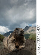 marmot in the high mountains of Austria. Стоковое фото, фотограф herbert lewald / PantherMedia / Фотобанк Лори
