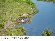 Домашние свиньи валяются в илистой грязи маленькой речки в жаркий летний день. Стоковое фото, фотограф Светлана Попова / Фотобанк Лори