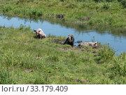 Домашние свиньи лежат в илистой грязи у маленькой речки в жаркий летний день. Стоковое фото, фотограф Светлана Попова / Фотобанк Лори