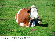 cow - cows on the weide in bavaria. Стоковое фото, фотограф Ernesto Rosé / PantherMedia / Фотобанк Лори