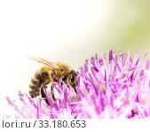 Купить «Bee collecing pollen on a giant onion flower», фото № 33180653, снято 26 февраля 2020 г. (c) PantherMedia / Фотобанк Лори