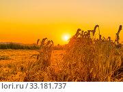 Купить «Sunrise over crops on a field», фото № 33181737, снято 4 апреля 2020 г. (c) PantherMedia / Фотобанк Лори