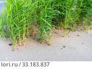 Стебли тростника, пробивающиеся через асфальт (2019 год). Стоковое фото, фотограф Александр Щепин / Фотобанк Лори