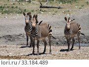 Купить «Zebra», фото № 33184489, снято 20 февраля 2020 г. (c) PantherMedia / Фотобанк Лори