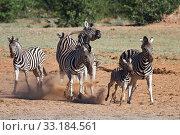 Купить «Zebra», фото № 33184561, снято 20 февраля 2020 г. (c) PantherMedia / Фотобанк Лори