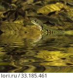 Купить «Chameleon iguana on timber decay», фото № 33185461, снято 5 апреля 2020 г. (c) PantherMedia / Фотобанк Лори