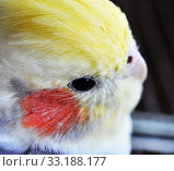 Купить «close up of cockatiel head,  feathers and eye», фото № 33188177, снято 22 февраля 2020 г. (c) PantherMedia / Фотобанк Лори