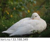 Resting duck. Стоковое фото, фотограф Wolgang Schleicher / PantherMedia / Фотобанк Лори
