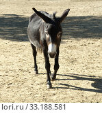 Poitou Esel, Poitou-Esel, Esel; Equus, asinus, Стоковое фото, фотограф Manfred Ruckszio / PantherMedia / Фотобанк Лори