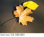 Купить «fallen maple and birch leaves floating in puddle», фото № 33189901, снято 9 апреля 2020 г. (c) PantherMedia / Фотобанк Лори