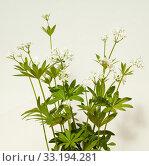 Купить «Waldmeister; Galium odoratum», фото № 33194281, снято 29 мая 2020 г. (c) PantherMedia / Фотобанк Лори