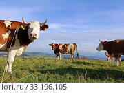Купить «simmental cattle with horns in the pasture», фото № 33196105, снято 22 февраля 2020 г. (c) PantherMedia / Фотобанк Лори