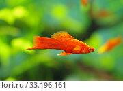 Меченосец в аквариуме. Стоковое фото, фотограф Natalya Sidorova / Фотобанк Лори