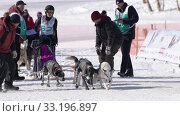 Female child mushing sled dog team, runs on distance Dog Sled Racing Competition. Редакционное видео, видеограф А. А. Пирагис / Фотобанк Лори