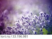 Купить «Lavender in the field», фото № 33196981, снято 21 февраля 2020 г. (c) PantherMedia / Фотобанк Лори