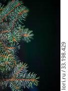 Купить «Defocus spring background of young branches with needles of blue spruce», фото № 33198429, снято 13 апреля 2017 г. (c) katalinks / Фотобанк Лори