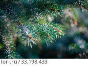 Купить «Defocus spring background of young branches with needles of blue spruce», фото № 33198433, снято 13 апреля 2017 г. (c) katalinks / Фотобанк Лори