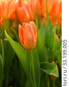 Купить «Tulip Orange Emperor, brilliant carrot-orange with darker interior dotted with pale, buttercup-yellow base and black anthers», фото № 33199005, снято 20 февраля 2020 г. (c) Валерия Попова / Фотобанк Лори