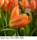 Купить «Beautiful Tulip Orange Emperor, brilliant carrot-orange with darker interior dotted with pale, buttercup-yellow base and black anthers», фото № 33199105, снято 20 февраля 2020 г. (c) Валерия Попова / Фотобанк Лори