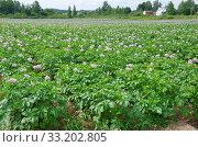 Купить «Летний сельский пейзаж с цветущим картофельным полем», фото № 33202805, снято 14 июля 2018 г. (c) Елена Коромыслова / Фотобанк Лори