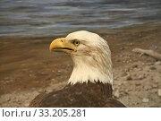 Купить «Bald Headed Eagle», фото № 33205281, снято 5 июня 2020 г. (c) PantherMedia / Фотобанк Лори