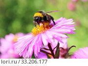Купить «bumblebee sitting on the asters», фото № 33206177, снято 23 февраля 2020 г. (c) PantherMedia / Фотобанк Лори