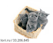 The three grey little kittens sitting in the basket. Стоковое фото, фотограф Алексей Хромушин / Фотобанк Лори
