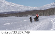 Female mushing sled dog team, running snow distance Sled Dog Racing Championship. Редакционное видео, видеограф А. А. Пирагис / Фотобанк Лори