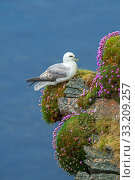 Купить «Northern fulmar / Arctic fulmar (Fulmarus glacialis) resting in sea cliff at seabird colony at Hermaness, Unst, Shetland, Scotland, UK, June», фото № 33209257, снято 31 марта 2020 г. (c) Nature Picture Library / Фотобанк Лори