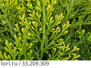 Pale spikemoss / pale spike-moss / moss fern (Selaginella pallescens) native to Mexico, Colombia and Venezuela. May. Стоковое фото, фотограф Philippe Clement / Nature Picture Library / Фотобанк Лори