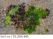 Gutweed (Ulva intestinalis / Enteromorpha intestinalis), sea lettuce (Ulva lactuca) and spiral wrack / flat wrack (Fucus spiralis) washed on beach, Normandy, France, June. Стоковое фото, фотограф Philippe Clement / Nature Picture Library / Фотобанк Лори