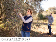 Купить «Woman gathering harvest of olives», фото № 33210577, снято 25 февраля 2020 г. (c) Яков Филимонов / Фотобанк Лори