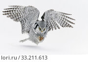 Hawk Owl (Surnia ulula) hunting, Kuhmo, Finland, March. Стоковое фото, фотограф Markus Varesvuo / Nature Picture Library / Фотобанк Лори