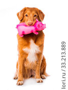 Купить «Nova scotia duck tolling retriever dog sitting isolated on white background and holding a pig in his mouth», фото № 33213889, снято 27 мая 2020 г. (c) easy Fotostock / Фотобанк Лори