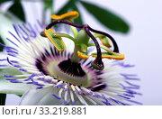 Купить «Beauty white blue passion flower Passiflora caerulea», фото № 33219881, снято 13 июля 2020 г. (c) easy Fotostock / Фотобанк Лори