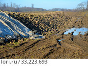 Pile of sugar beets (Beta Vulgaris) covered by tarpaulin in winter, January month, in Charlottenlund, Scania, Sweden. Стоковое фото, фотограф Alf Jönsson / age Fotostock / Фотобанк Лори