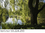 Pond with Chlorophyta - Green Algae through silhouetted Salix - Weeping Willow tree trunk and branches in public garden in late spring, Centre de la Nature public garden, Laval, Quebec, Canada. Стоковое фото, фотограф Perry Mastrovito / age Fotostock / Фотобанк Лори