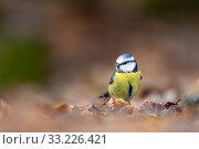 France, Pays de la Loire, Sarthe, Rouesse Vasse, grove, Blue Tit ( Cyanistes caeruleus). Стоковое фото, фотограф Morales / age Fotostock / Фотобанк Лори