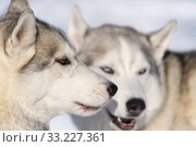 Portrait two dogs husky breed before winter sport competition dog sled race (2020 год). Редакционное фото, фотограф А. А. Пирагис / Фотобанк Лори