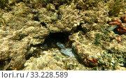Мурены в коралловых рифах. Хиккадува, Шри-Ланка (подводная съемка) (2020 год). Стоковое видео, видеограф Виктор Карасев / Фотобанк Лори