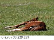 Купить «Stud Bruemmerhof, foal looks curiously backwards while lying down on a pasture», фото № 33229289, снято 22 июня 2019 г. (c) Caro Photoagency / Фотобанк Лори