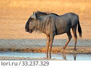 Blue wildebeest at waterhole. Стоковое фото, фотограф Nico Smit / PantherMedia / Фотобанк Лори