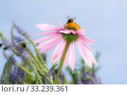 Купить «Echinacea flower with bumblebee», фото № 33239361, снято 31 мая 2020 г. (c) PantherMedia / Фотобанк Лори