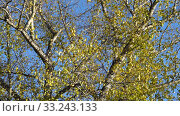 Купить «Branches of poplar with yellow leaves on background of blue sky. Bright, sunny autumn day in park. Contemplation of natural beauty. 4K video», видеоролик № 33243133, снято 4 апреля 2020 г. (c) Dmitry Domashenko / Фотобанк Лори