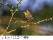 Купить «orpheusspötter (hippolais polyglotta)», фото № 33244889, снято 31 мая 2020 г. (c) PantherMedia / Фотобанк Лори