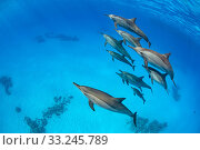 Pod of Spinner dolphins (Stenella longirostris) swimming close to the surface. Sataya Reef, Fury Shoal, Marsa Alam, Egypt. Red Sea. Стоковое фото, фотограф Alex Mustard / Nature Picture Library / Фотобанк Лори