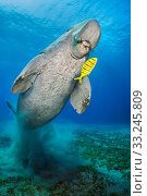 Dugong (Dugong dugon) male, swims over seagrass meadow (Halophila... Стоковое фото, фотограф Alex Mustard / Nature Picture Library / Фотобанк Лори