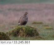 Купить «Black grouse (Tetrao tetrix) female overlooking lek, Upper Teesdale, Durham, England, UK. May», фото № 33245861, снято 13 июля 2020 г. (c) Nature Picture Library / Фотобанк Лори