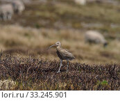 Купить «Curlew (Numenius arquata) walking back to nest on recently burnt heather strip. This is the usual nest site on a working Grouse Moor, a recent decision...», фото № 33245901, снято 3 августа 2020 г. (c) Nature Picture Library / Фотобанк Лори